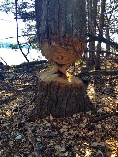 Beaver_tree_sm