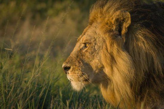 Lion Jim Griggs photo - sm